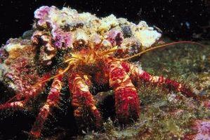 Datos sobre los cangrejos ermitaños en los arrecifes de coral
