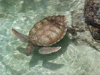 ¿Qué tipos de tortugas vivas en la Florida?
