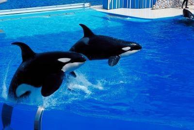 Especies de ballenas asesinas