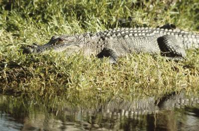 Comportamiento de cocodrilo y Hábitat