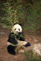 Los efectos del Panda Gigante de éstas debido
