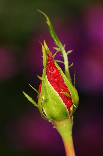 Lo que sirve como protección para el desarrollo de las flores?