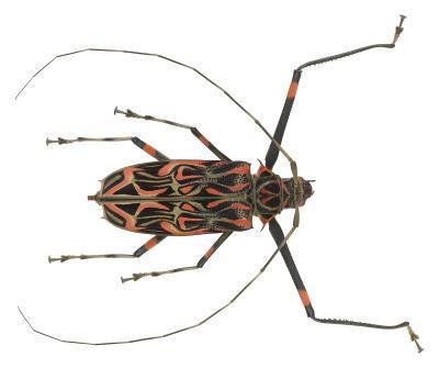 ¿Qué tipo de escarabajo es de color naranja y Negro?