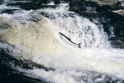 Cómo decirle a un salmón macho de una hembra