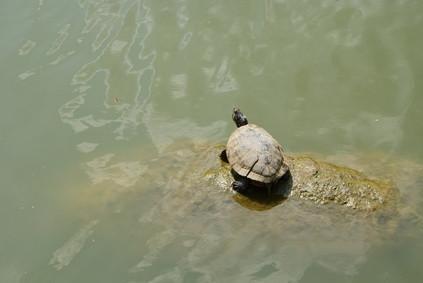 Cómo atrapar tortugas de agua