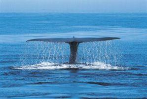 Datos acerca de la ballena azul Adaptaciones y Supervivencia