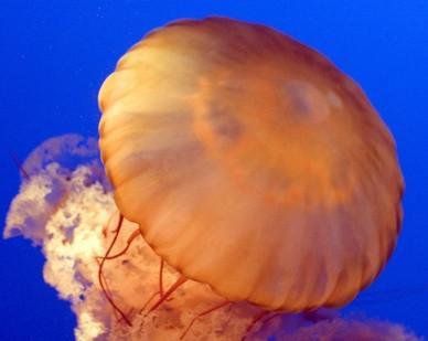 La reproducción asexual en las medusas