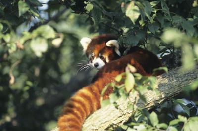 Las diferencias en masculino y femenino pandas rojos
