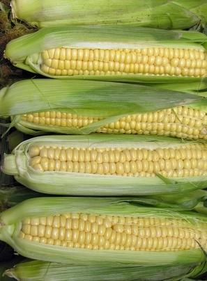 ¿Qué es el maíz híbrido se utiliza?