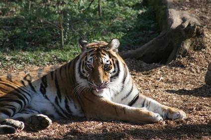 ¿Cómo decirle a un tigre macho y hembra Aparte