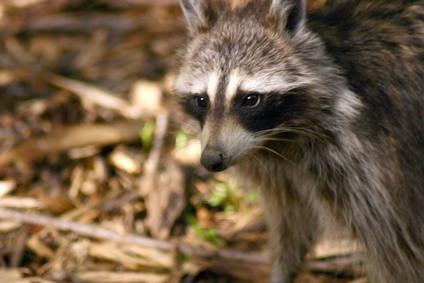 Datos interesantes sobre los mapaches