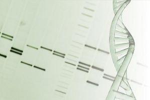 Cómo calcular la longitud de los fragmentos de ADN - Cusiritati.com
