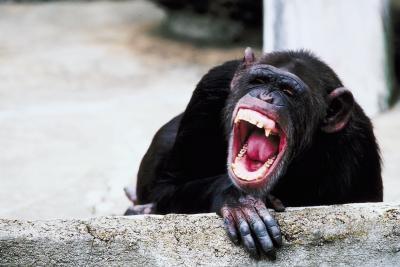 Ancestros comunes para los seres humanos y los chimpancés