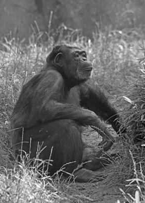 ¿Cómo se reproducen los chimpancés?