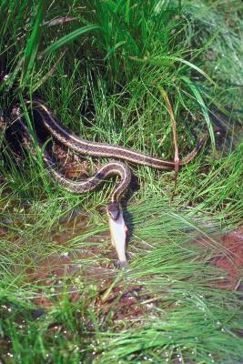 Cómo saber si una serpiente de liga costa es un niño o una niña