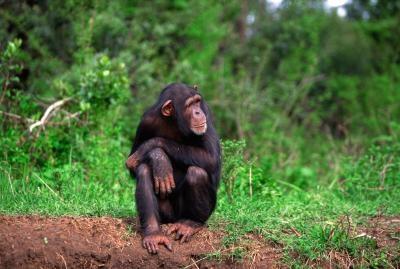 Las diferencias en los cráneos de humanos y chimpancé