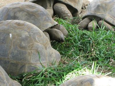 La dieta de una tortuga gigante