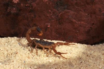 Los escorpiones del desierto en California