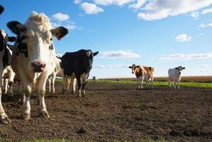 La diferencia entre el sistema digestivo humano y el sistema digestivo de una vaca