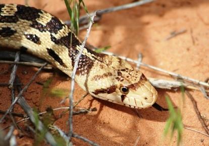 Cómo identificar negro y blanco serpientes en el suroeste