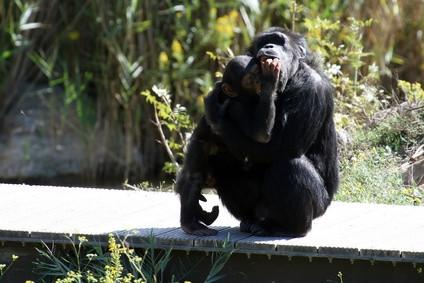 ¿Qué es la vida útil de un chimpancé?