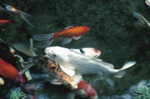 ¿Qué tipos de peces se alimentan de la lenteja de agua?