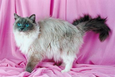 Una lista de las razas del gato con el pelo largo
