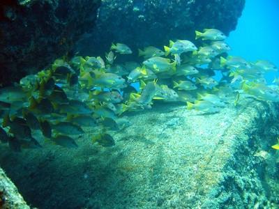 Tipos de peces de agua salada en Carolina del Sur