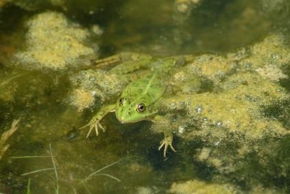 Cómo identificar las ranas y sapos