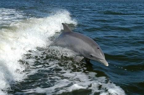 Cómo Juegan los delfines?
