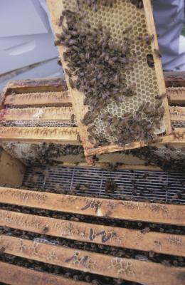 Cómo alimentar a las abejas de la miel y la menta verde hierba de limón
