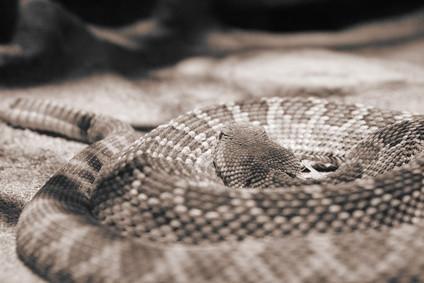 Identificación de la serpiente del traqueteo