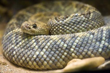 Cómo montar una piel de serpiente del traqueteo de un Consejo