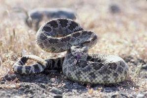 Cómo identificar a las serpientes en Kentucky