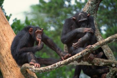 Las similitudes en los hábitos no verbales de comunicación entre los seres humanos y los primates no humanos