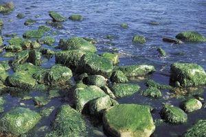 Similitudes entre algas células y células de la planta