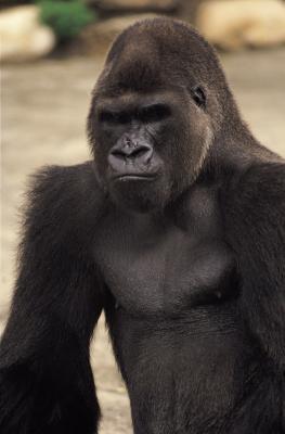 Datos acerca de los gorilas para Niños