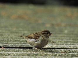 Las aves comunes a Condado de Maricopa, Arizona