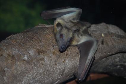 Hábitat del murciélago vampiro