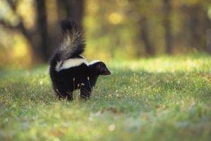 Las variedades Skunk de New Hampshire
