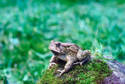 Tipos de ranas nativas de Pennsylvania