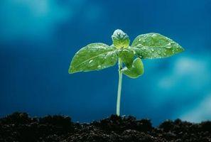 Un proyecto de la ciencia del crecimiento vegetal de medición con tres diferentes condiciones de agua