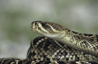 ¿Cuál es la diferencia entre una serpiente de cascabel de la Madera Carolina del Norte y Carolina del Norte Diamondback serpiente de cascabel?
