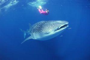 La Teoría de la Evolución de los tiburones