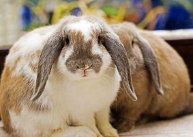 Cómo conservar una pata de conejo