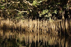 Florida Información del mangle