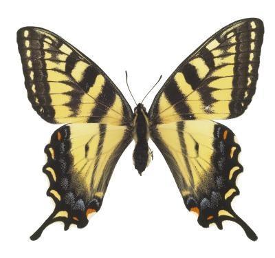 Tipos de mariposas en Texas