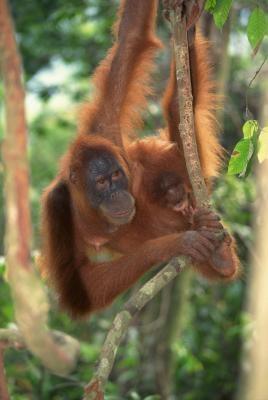 Cómo hacer de marioneta orangután