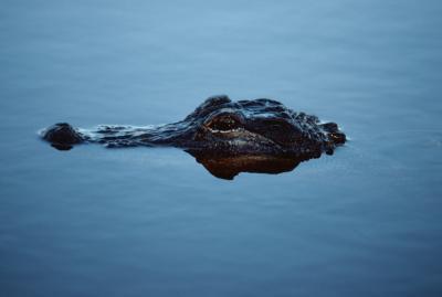 ¿Qué tipo de pescado Qué comen los cocodrilos?