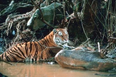 ¿Por qué es el peligro del tigre malayo?